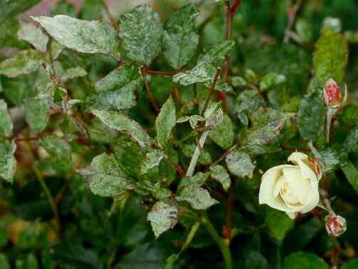 Наиболее распространенные болезни роз, их симптомы и способы лечения